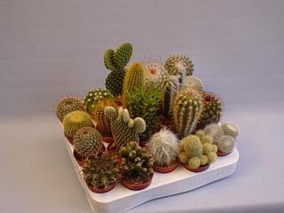 UBINK BV: Cactus