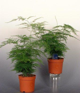 Bunnik Plants: Asparagus Plumosa