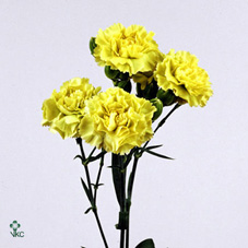 BLOEMENKWEKER: Dianthus Lucky