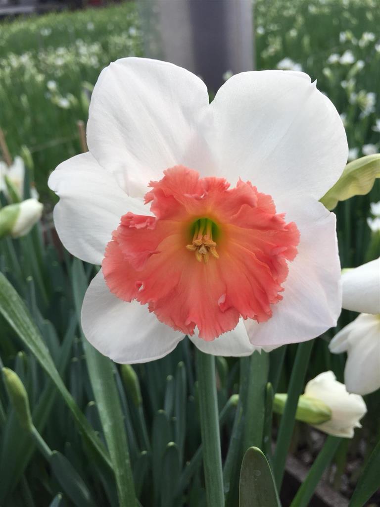 BLOEMENKWEKER: Narcis Precocious
