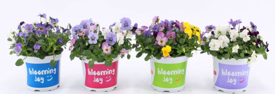 KWEKERIJ A. BAAS: Violen Blooming Joy
