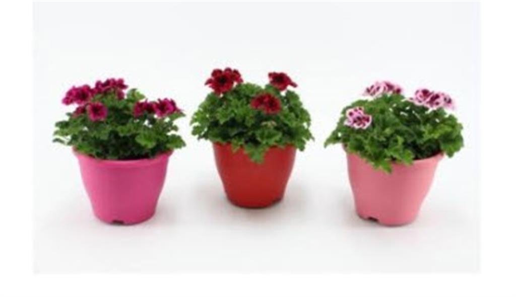 KWEKERIJ A. BAAS: Pelargonium Candyflower Ton Sur Ton