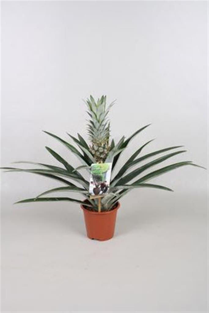 Hedera Plant b.v.: Ananas Champaca