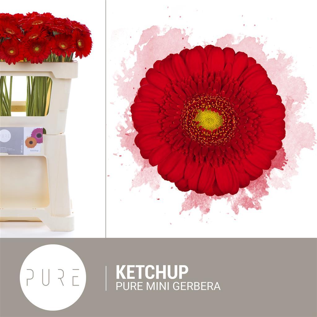 PURE gerbera: Germini Ketchup