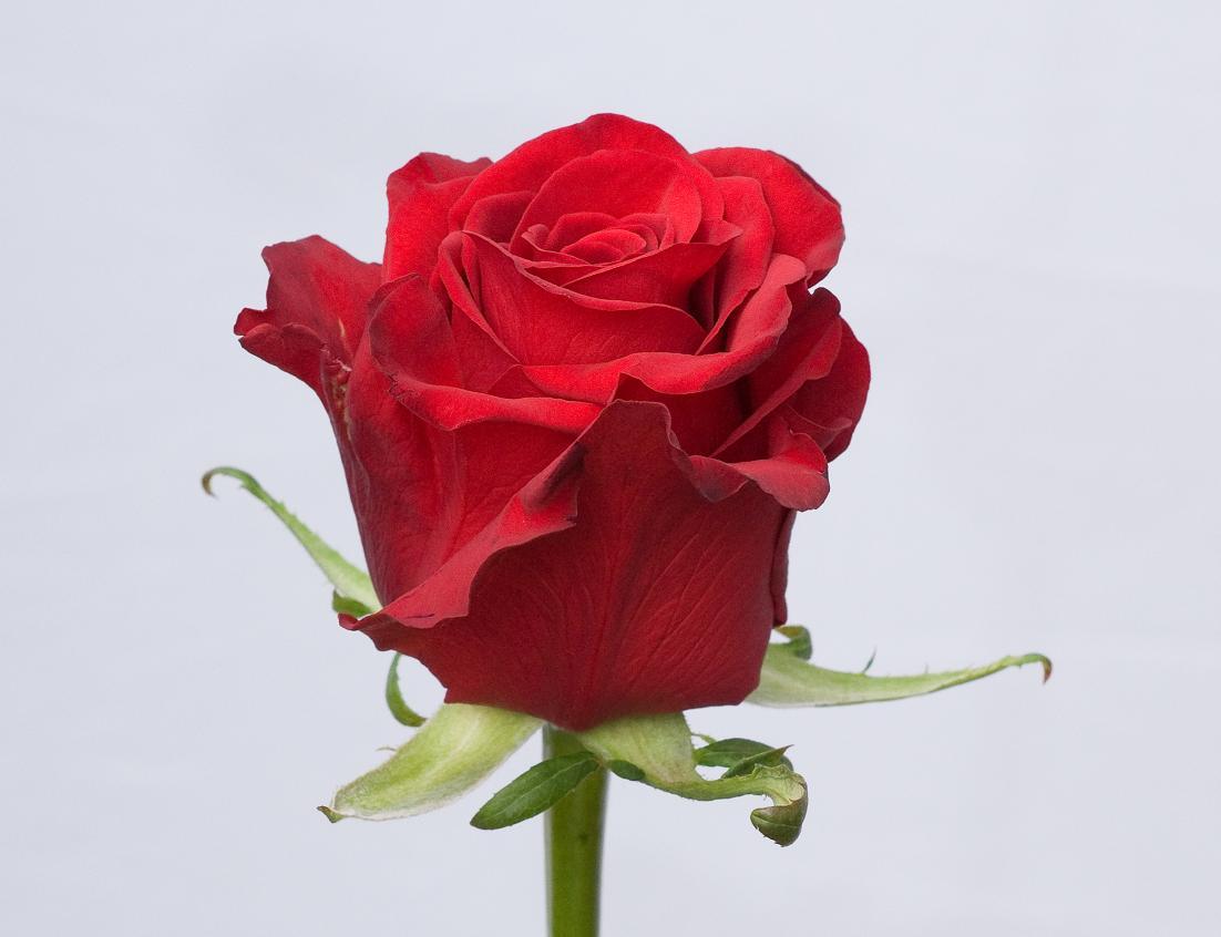 BLOEMENKWEKER: Rosa Red Love